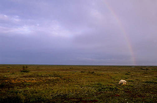 Polar Bear, (Ursus maritimus) On tundra. Autumn. Churchill, Manitoba. Canada.
