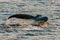 Humpback whale diving, Port Houghton, near Frederick Sound,  Inside Passage, Southeast Alaska USA.