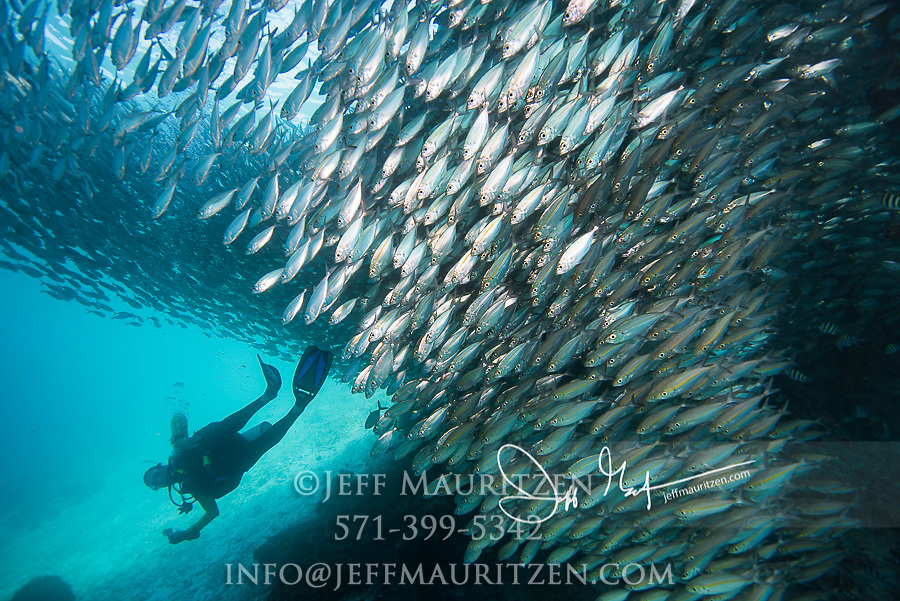 A large school of Bigeye scad swim next to a scuba diver under a pier in Raja Ampat, Indonesia.