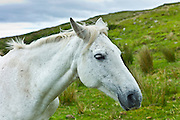 Connemara ponies on hill slope, Connemara, County Galway, Ireland