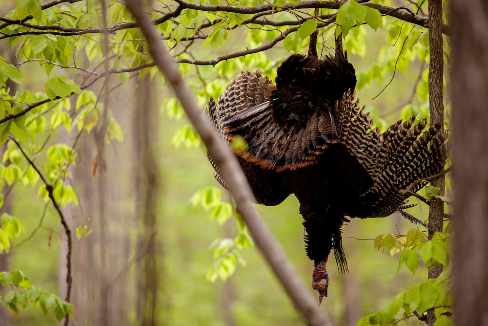 Turkey hanging
