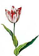17th century watercolor painting of a Tulipa gesneriana (Gesner's Tulip, Didier's tulip or garden tulip) from Livre des Tulipes (Book of Tulips) by Nicolas Robert c. 1650