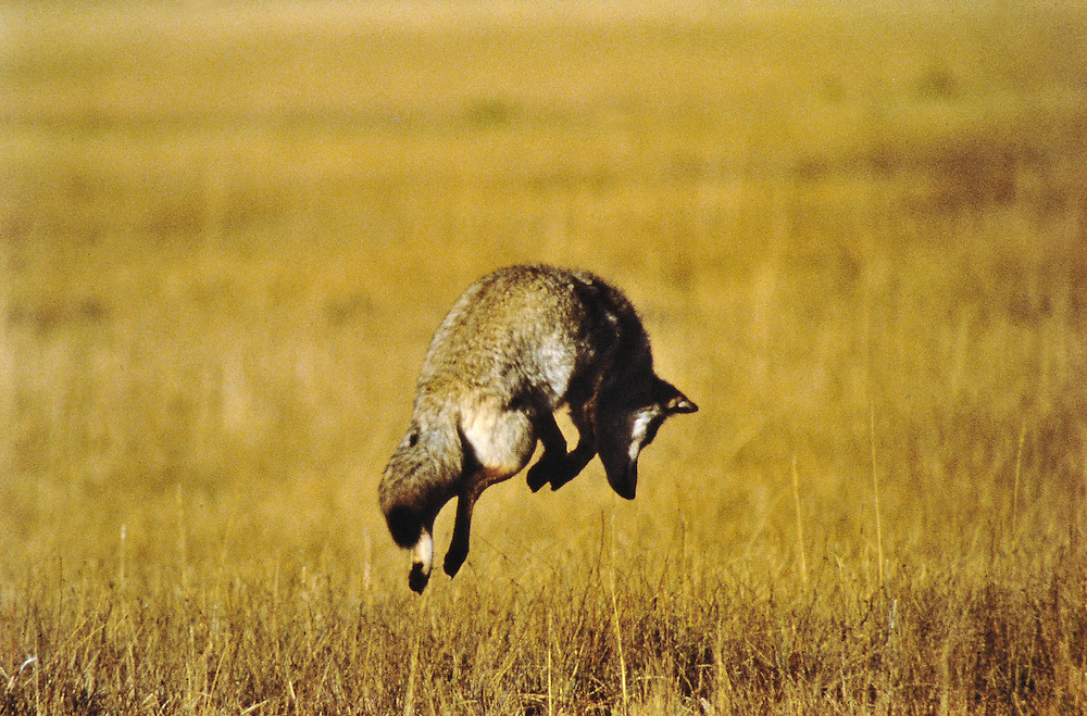 A coyote in mid-leap while pouncing on a vole. Wyoming