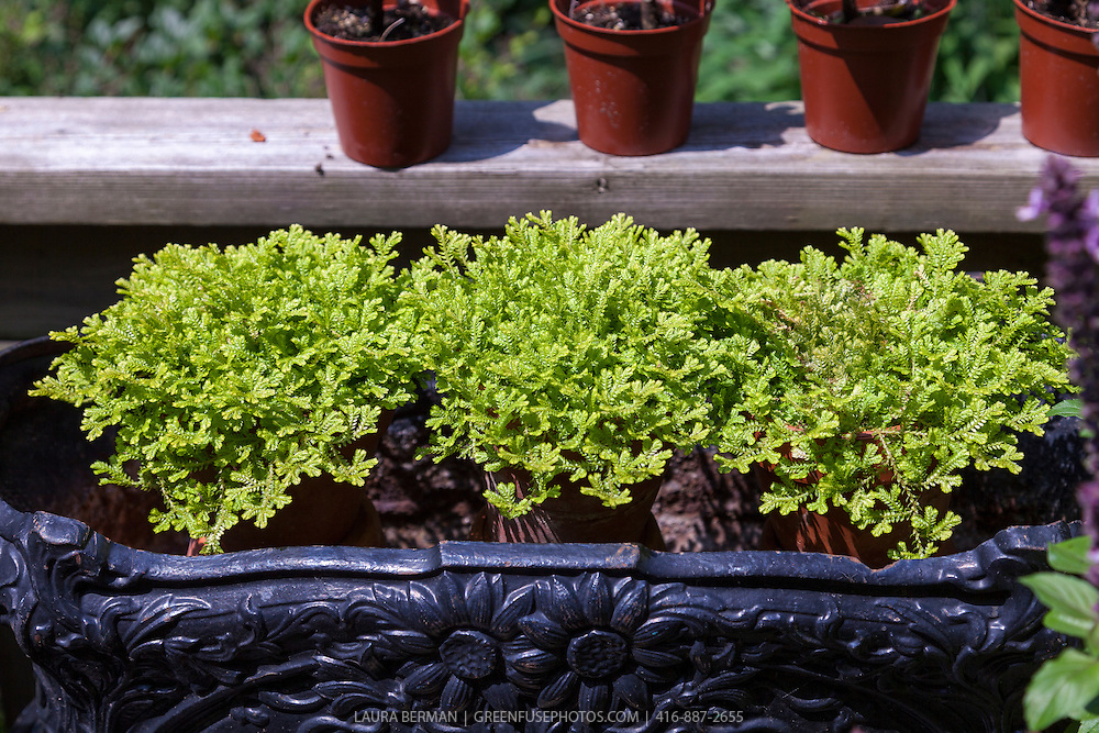 Golden Spikemoss in decorative terracotta flower pots (Selaginella kraussiana 'Aurea' )