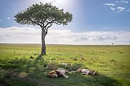 Lions, (Panthera leo) laying down  in Maasai Mara National Park, Kenya, Africa <br /> male is named Chongo