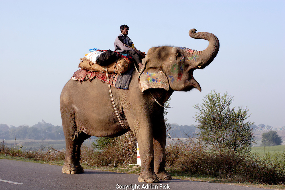 An elephant and its mahut on the road to Ghazipur district in Uttar Pradesh