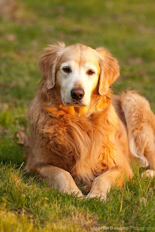 A golden retriever lies in the grass