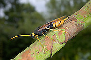 Giant Wood Wasp - Uroceras gigas