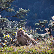 Macaque monkey in central Bhutan, Trongsa, Bhutan, Asia