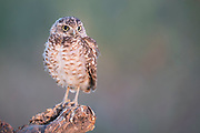 If you look closely you can see sunrise reflected in his eyes.  This is papa burrowing owl, I've been watching him feed his two chicks for the past month.  For the past week or two, it has been tough love as he has been making the chicks catch their own food.  At first there were lots of misses and papa supplemented with his own catches.  Now the chicks are mastering their technique and becoming quite successful at capturing their own beetles.