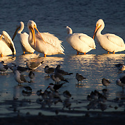 American White Pelicans gather at sunset on Tampa Bay in St. Petersburg, Florida. White Pelicans are the second largest bird native to the North America and migrate each winter from the Northern U.S. and Canada to Florida and other southern destinations.
