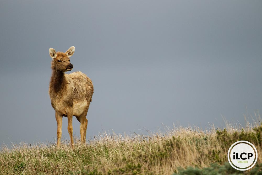 Tule Elk (Cervus elaphus nannodes) calf, Point Reyes National Seashore, California