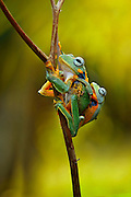 BATAM, INDONESIA - <br /> <br /> mother frog carrying her baby<br /> <br /> The photos shows how a flying frog (Rhancophorus reinwardtii) mother's love for her flying frog child in Batam Island, Indonesia taken by Ais Setiawan, flying frogs mother is seen holding her child on her back making sure she does not fall while climbing,<br /> ©Ais Setiawan/Exclusivepix Media