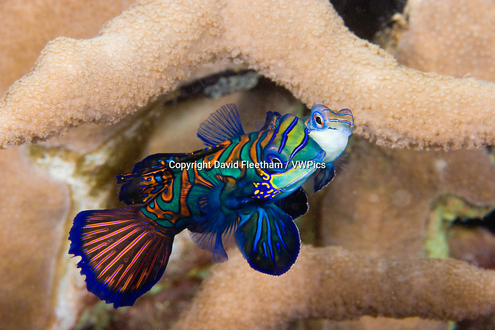 Male and female mandarinfish, Synchiropus splendidus, performing a mating dance off Yap Island, Malaysia.