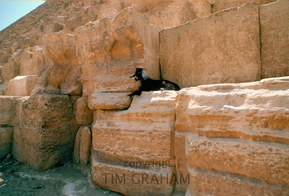 A lone goat resting on the Great Pyramids in Egypt