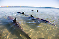 The Western Australian Department of Environment and Conservation organises daily dolphin feedings between 8am and 1pm on Dolphin Beach. Seven to eight bottlenose dolphins come to the beach on a regular basis of there own fee will to receive fish and interact with people. the visiting dolpins span three generations, where the habit has been passed on from mother to young. The DEC rangers regulate the feeding to ensure that the dolphins don't become too dependent on the hand feeding and continue to forage as normal in the wild. Monkey Mia Shark Bay is 850 kms north of Western Australian capital Perth. Situated mid way up the Western Australian coast the area famous for it's wild dolphins and is classified as a World Heritage Region.