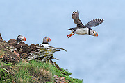Atlantic Puffin -  Fratercula arctica flying off from the cliff