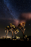 Joshua trees at night with the milky way galaxy at Joshua Tree National Park in southern California, USA.