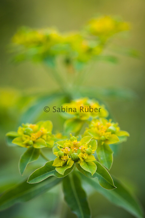 Euphorbia coralloides - coral spurge
