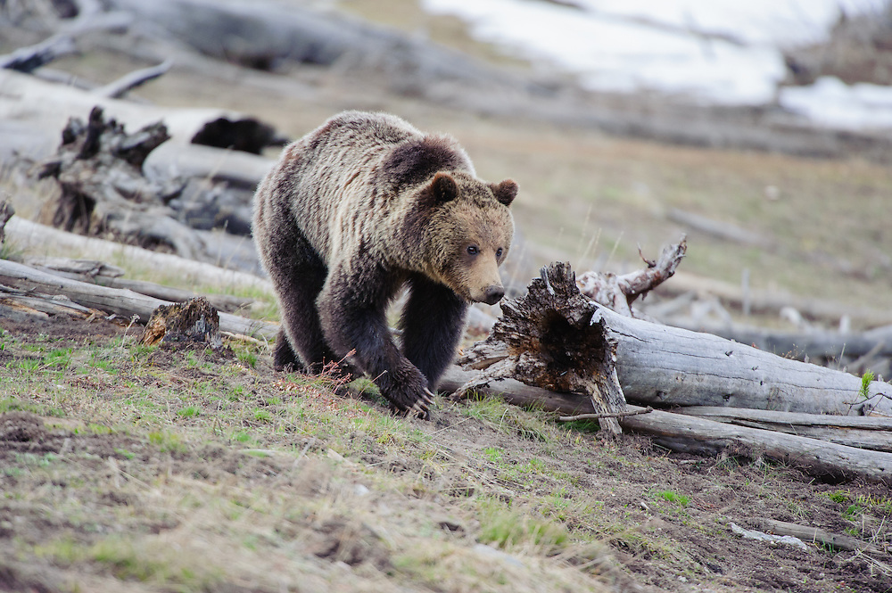 Grizzly Bear (Ursus arctos), Yellowstone National Park, Wyoming