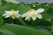 American Lotus; Nelumbo lutea; NJ, Mannington Marsh; rare plant in NJ