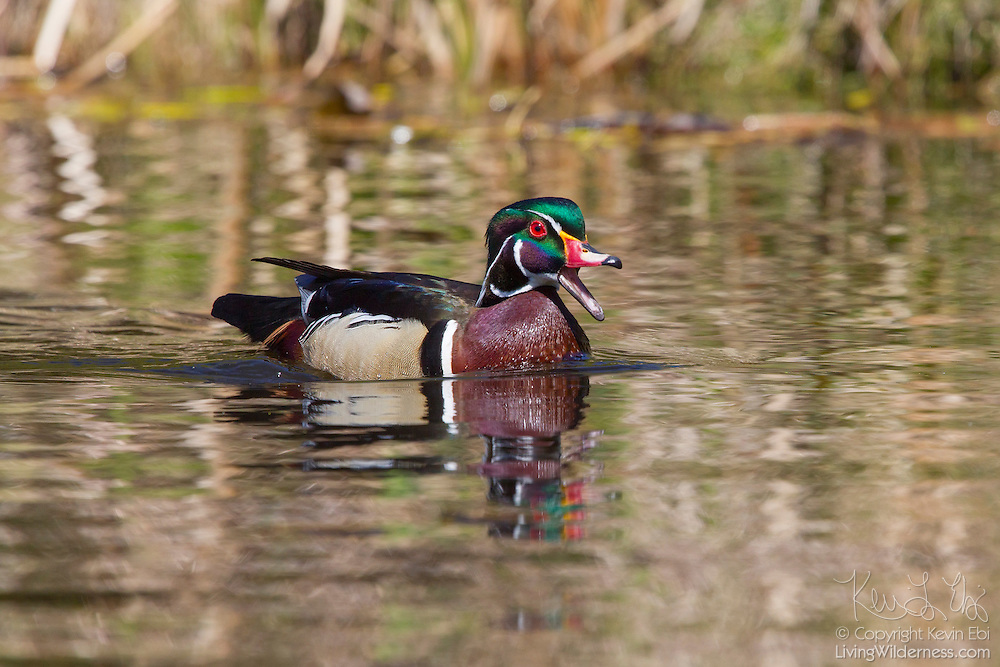 A male wood duck (Aix sponsa), called a drake, swims in a channel of the wetlands of the Washington Park Arboretum in Seattle, Washington. Wood ducks typically breed in wooded swamps, shallow lakes, marshes or ponds, and creeks in the eastern United States and along the west coast from Washington state into Mexico.