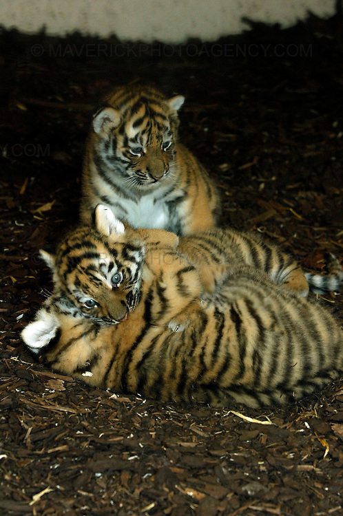 Following the arrival of a pair of rare Amur tigers at the Highland Wildlife Park in Kingussie, near Aviemore, Yuri and Sachi gave birth to three tiger cubs. ..Born on 11th May 2009 the tiger cubs, yet to be sexed or named are settling into their home. ..Picture shows the three tiger cubs