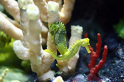 July 2007: Longsnout seahorse, Chattanooga Aquarium.  Attractions near Chattanooga Tennessee. Point Park, National Park Service - Lookout Mountain, TN. (Photo by Alan Look)