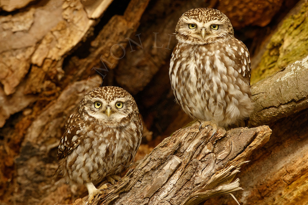 Little Owl (Athene noctua) adult pair, perched in dead tree, Norfolk, UK.