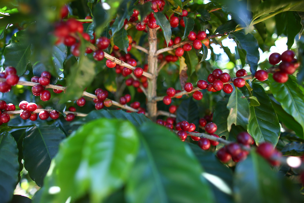 Coffee cherries are shown during the 2016 Starbucks Origin Experience for Partners. Photographed in January 2016. (Joshua Trujillo, Starbucks)