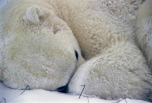 Polar Bear, (Ursus maritimus) Curled up sleeping during snowstorm and frigid temps. Churchill, Manitoba. Canada.