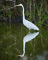 Great Egret. Biolab Road, Merritt Island National Wildlife Refuge. Image taken with a Nikon D3s camera and 80-400 mm VR len (ISO 220, 370 mm, f/5.6, 1/30 sec).