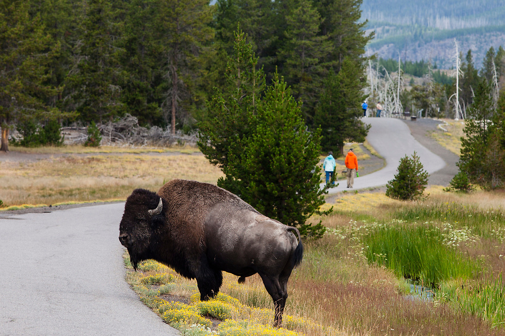 A Bison, Yellowstone National Park, Wyoming, United States