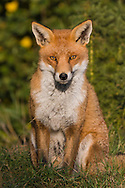 Red Fox (Vulpes vulpes) adult sitting. Captive.