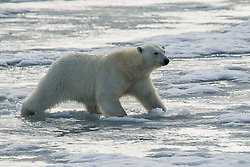 Polar bear (Ursus maritimius) on thin ice in Svalbard, Norway