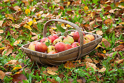 Trug of harvested apples amongst autumn leaves. Malus domestica