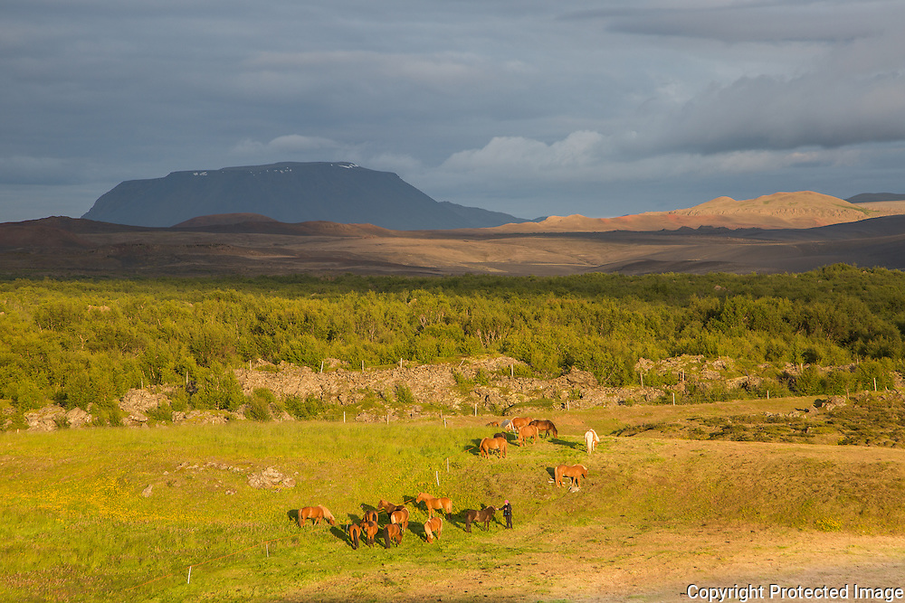 Group of icelandic horses in Myvatn area, north Iceland.