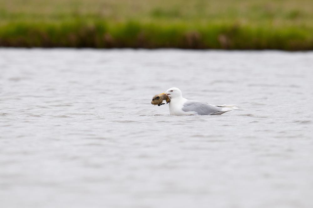 Glaucous Gull, Larus hyperboreus, preying on Cackling Goose gosling, Branta hutchinsii, Yukon Delta NWR, Alaska