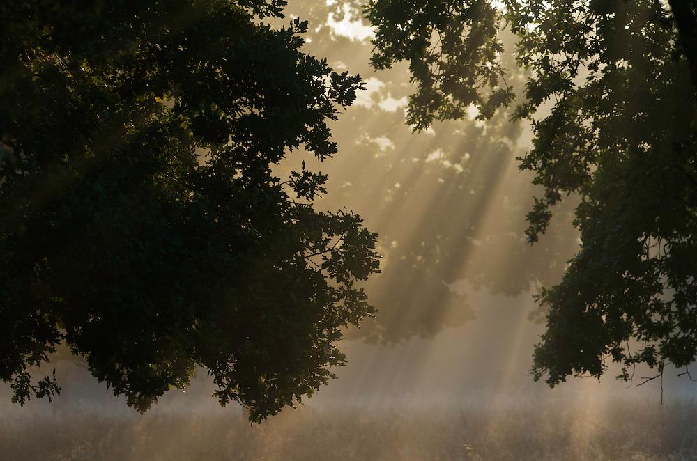 European Oak (Quercus robur) and rays of sun, Klampenborg Dyrehave, Denmark. Fenced reserve enclosure.