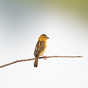 The Asian golden weaver (Ploceus hypoxanthus) is a species of bird in the family Ploceidae. It is found in Cambodia, Indonesia, Laos, Myanmar, Thailand, and Vietnam. Its natural habitats are subtropical or tropical seasonally wet or flooded lowland grassland, swamps, and arable land. It is threatened by habitat loss. Female shown in picture.