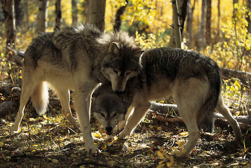 Gray Wolf, (Canis lupus) Alpha male and female interaction. Rocky mountains. Montana.  Captive Animal.