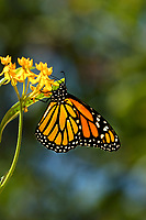 Altho I usually shoot tight images, I let more of the flower and lush green background in this Monarch butterfly on milkweed photo allowing for text and copy placement.