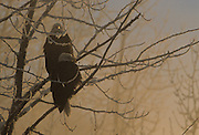 Bald Eagle, Sun, Sunrise, Sunset, Winter, Snow, fog, mist, Chilkat River, Haines, Alaska