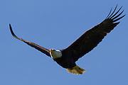 A bald eagle (Haliaeetus leucocephalus) soars against a blue sky over Lake Washington near Kirkland, Washington.