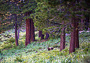 Bear Cub<br /> Truckee, California