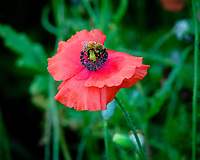 Backyard Wildflowers (Coreopsis, Cosmos, Poppy). Image taken with a Fuji X-H1 camera and 80 mm f/2.8 macro lens