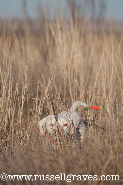 ENGLISH POINTER DOGS WORKING IN THE GRASS ON A QUAIL HUNT