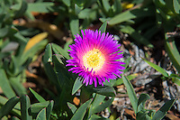 "This South African native succulent perennial with its very attractive bright pink and/or yellow flowers has found its way to both California and Florida thanks to the ornamental plant industry and has particularly found a foothold along Southern California highways, earning it the nickname ""highway ice plant."" Originally used as a soil stabilizer due to its matting, ground-cover nature it has unexpectedly spread into several sensitive ecological habitats such as coastal communities and desert dune habitats where it quickly outgrows and outcompetes threatened and endangered plants. This one was found growing in a sprawling mat across the sandy beach in Los Angeles, California next to the Del Rey Lagoon."