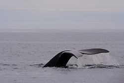 Southern right whale,Argentina,Patagonia
