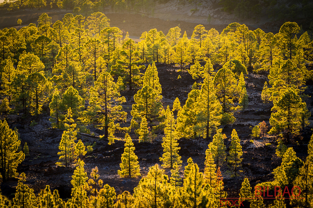 Conifer forest. Teide National Park. Tenerife, Canary Islands, Atlantic Ocean, Spain